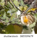 Fruit Of Physalis Peruviana  I...