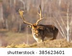 Fallow Deer Buck Coming Toward...