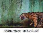 sumatran tiger roaring on... | Shutterstock . vector #385641859