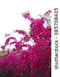 Bougainvillea Tree In The...