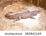 Small photo of Vintage looking A Caiman reptile in the Alligatoridae family
