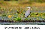 A Great Blue Heron  Ardea...