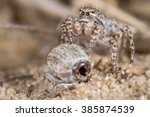 Small photo of Jumping Spider female (Aelurillus v-insignitus)