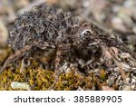 Small photo of Wolf Spider (Alopecosa spec.) with young spiders on the back