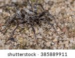 Small photo of Wolf spider (Alopecosa spec.) male