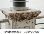 Small photo of A huge load of crickets (acheta domesticus) swarming the seafront pillar in Guayaquil, Ecuador