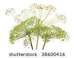 Umbrellas Of Fennel With Seeds...