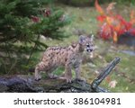 Young Cougar  Mountain Lion ...