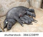 Black Iberian Pigs  Sow With...