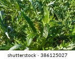 artichokes vegetable plantation ... | Shutterstock . vector #386125027