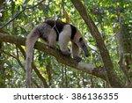 a tamandua  anteater  walking... | Shutterstock . vector #386136355