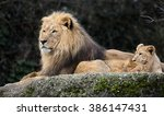 Lion And Lion Cubs. Latin Name...