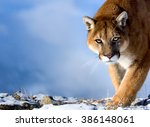 Mountain Lion Is Looking...