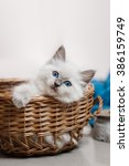 Stock photo ragdoll blue point little kitten on a colored background studio 386159749