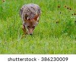 Adult Coyote Walking Through...
