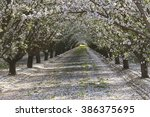 Rows Of Almond Trees Blooming...