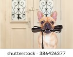 Stock photo french bulldog dog waiting a the door at home with leather leash in mouth ready to go for a walk 386426377