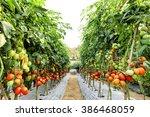 tomato cultivation asia style. | Shutterstock . vector #386468059