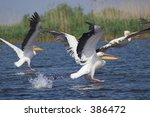 pelicans take off | Shutterstock . vector #386472