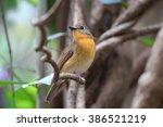 female chinese blue flycatcher... | Shutterstock . vector #386521219
