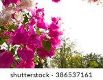 Bougainvillea On Evening