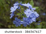 Hardy Blue Plumbago Flower ...