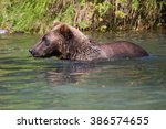 Grizzly Bear In Stream