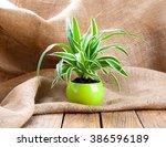 green chlorophytum plant in the ... | Shutterstock . vector #386596189