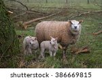 Mother Sheep And Her Lambs...
