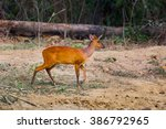 Barking Deer  Muntiacinae   In...