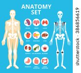 anatomy set  anatomy... | Shutterstock .eps vector #386856619