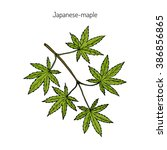 acer japonicum  amur maple ... | Shutterstock .eps vector #386856865