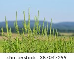 Ragweed Or Ragweed Allergy...