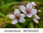 blackberry blossoms a common... | Shutterstock . vector #387061825