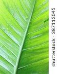Small photo of Alocasia leaf texture