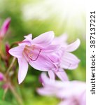 Small photo of Rosé lilies or Amaryllis belladonna with selective focus and copy space. Beautiful pink flowers and sunlight.