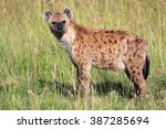 Young Spotted Hyena At The...