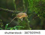 Small photo of Beautiful bird, Spectacled Barwing ( Actinodura ramsayi ) in nature of Thailand.