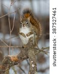 Small photo of North American Red Squirrel standing on a branch.
