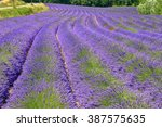 long rows of mauve lavender on... | Shutterstock . vector #387575635