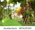 Small photo of African hemp, (Sparrmannia africana)
