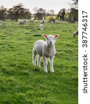 lamb isolated in green field...