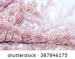 Cherry Blossom With Soft Focus...