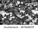 holland  amsterdam  cyclamen... | Shutterstock . vector #387868039