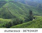 tea farm on mountain at cameron ... | Shutterstock . vector #387924439