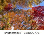 Colorful Maple Trees