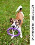 Dog Jack Russell With A Toy Fo...
