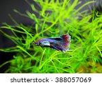 aquarium siamese fighting fish... | Shutterstock . vector #388057069