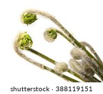 Three Green Fiddleheads From A...