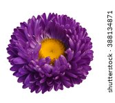 Stock photo beautiful purple aster flower isolated on white background 388134871
